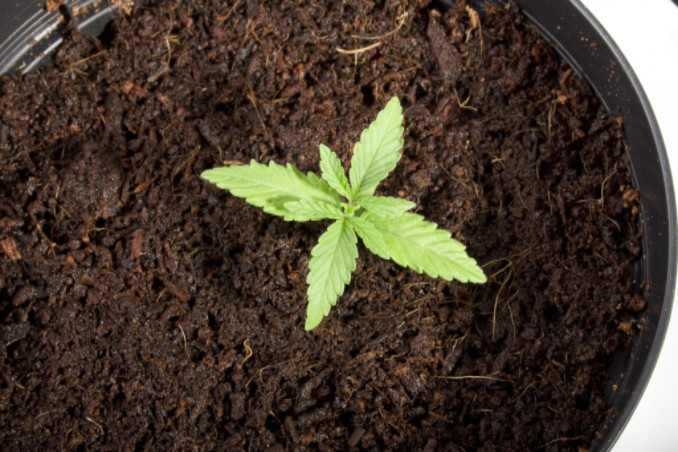 cannabis seedling, CannaClix Cannabis Oil News Blog