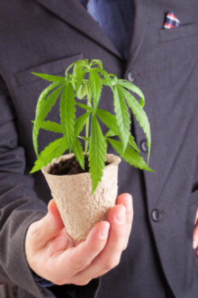 Businessman holding cannabis plant: CannaClix CBD Oils Blog